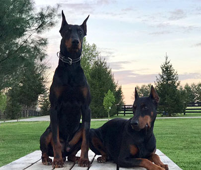 Doberman Pinscher Protection Dog