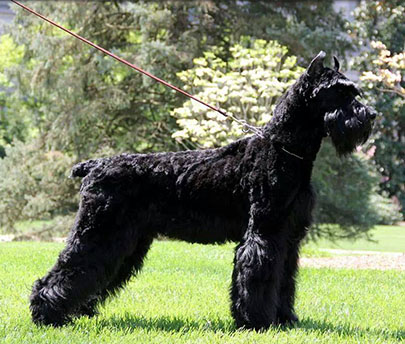 Giant Schnauzer Protection Dog